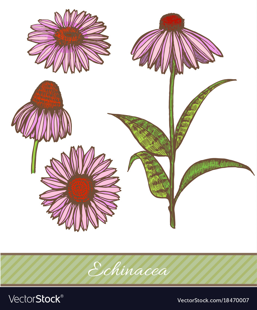 Colored echinacea in hand drawn style
