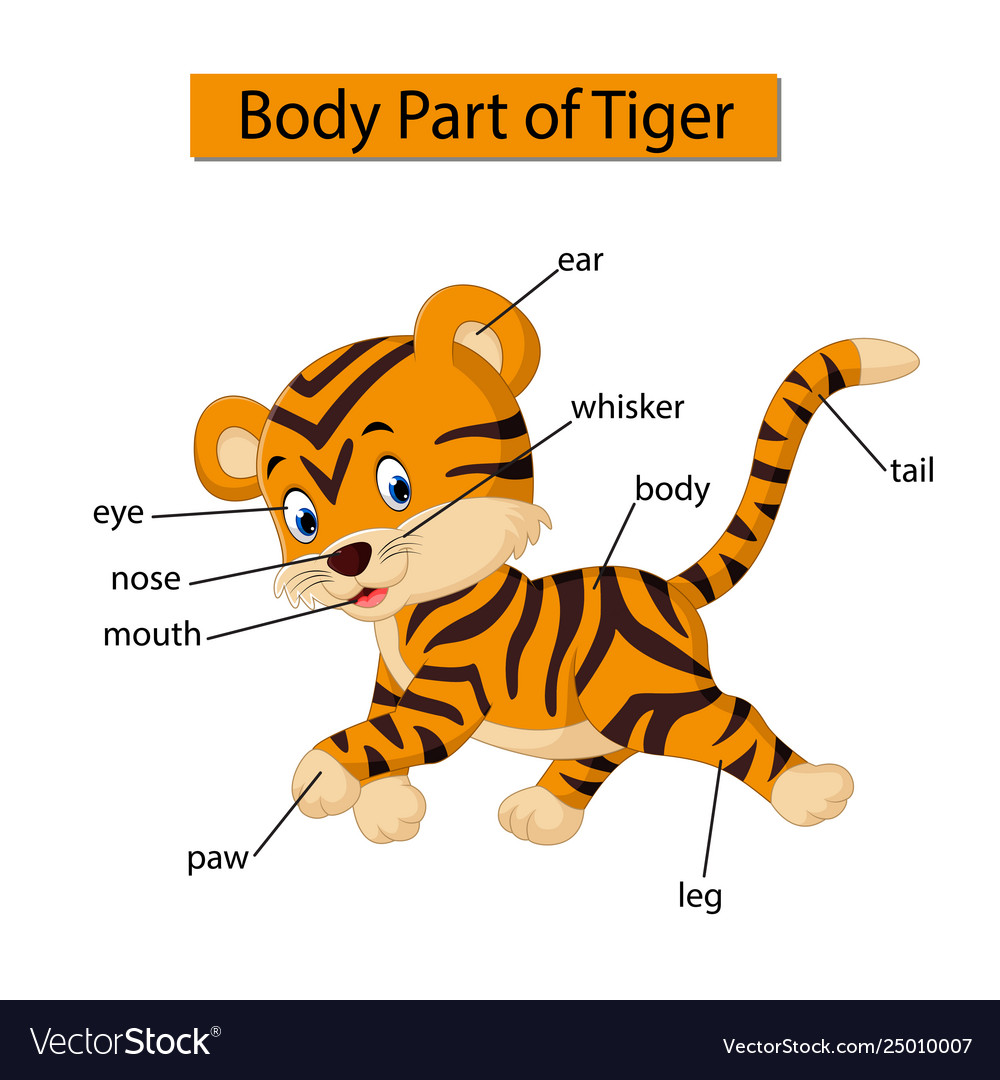 Diagram Showing Body Part Tiger Royalty Free Vector Image