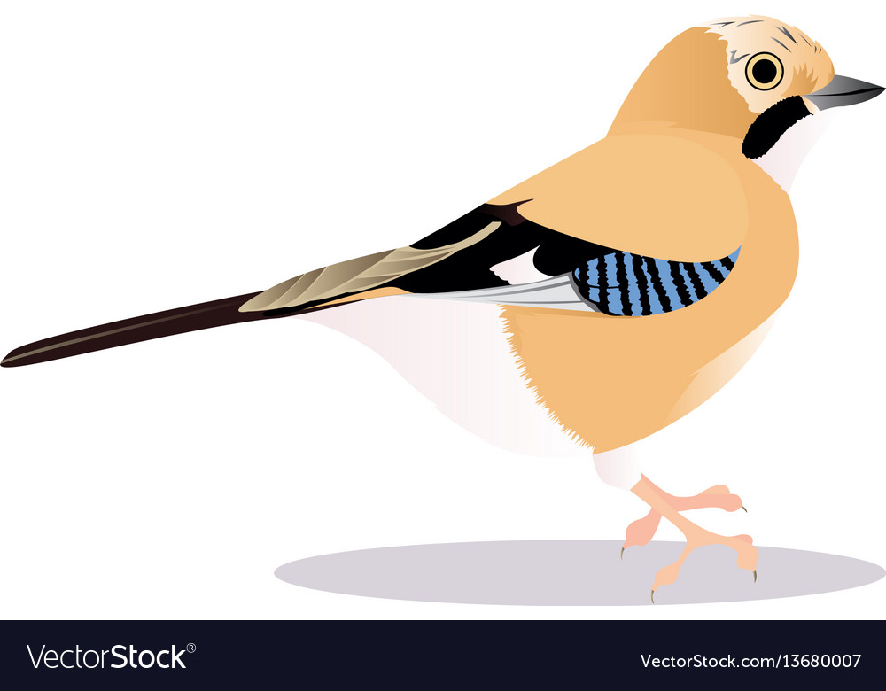 Jay bird vector image