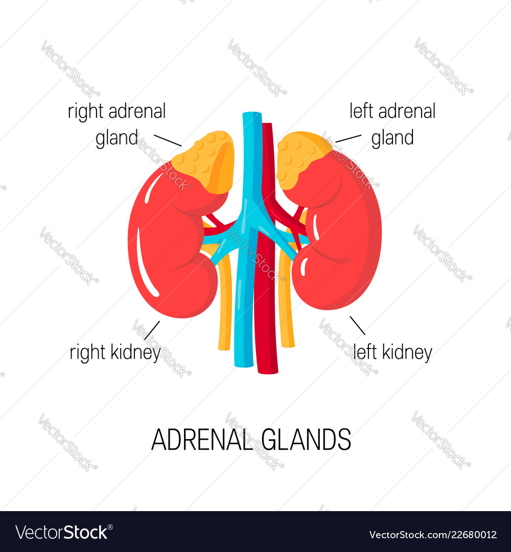 Diagram Of Adrenal Glands In Flat Style Royalty Free Vector