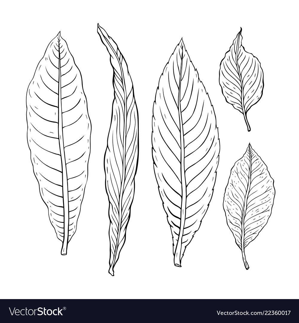 Types of leaf outline leaves of different types