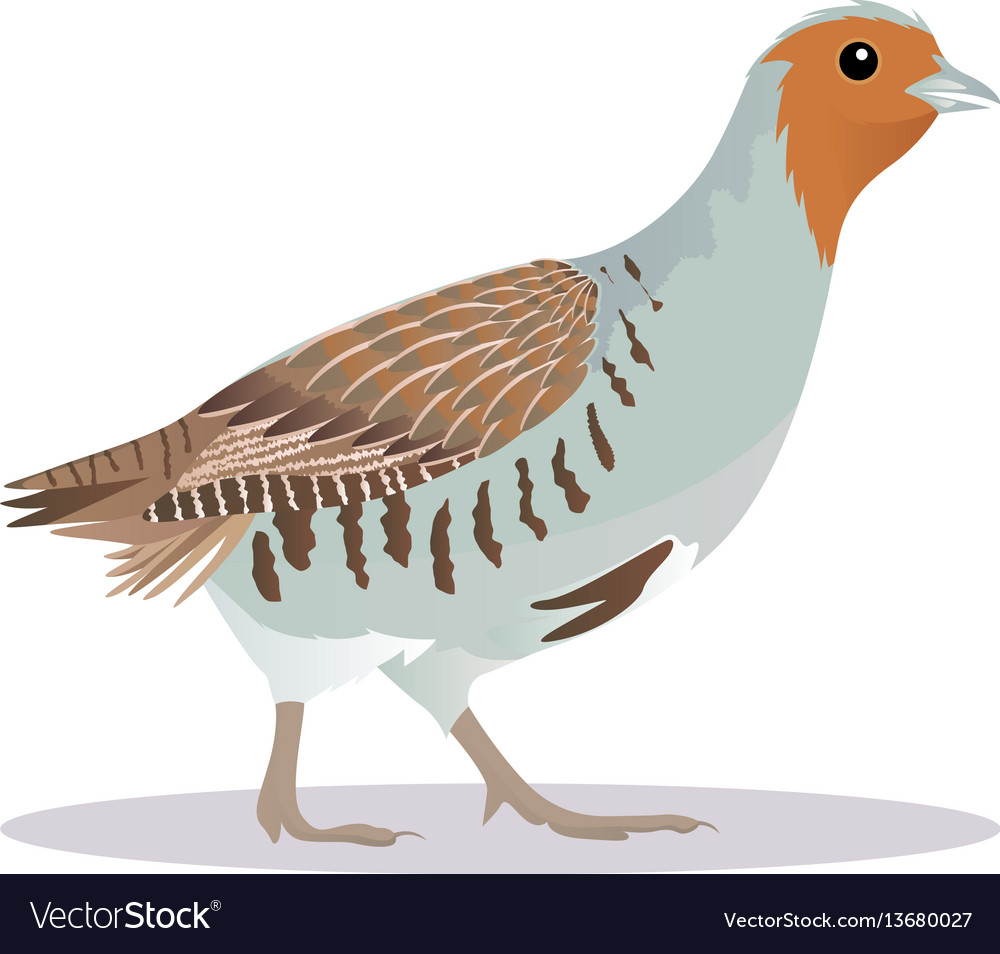 Partridge bird