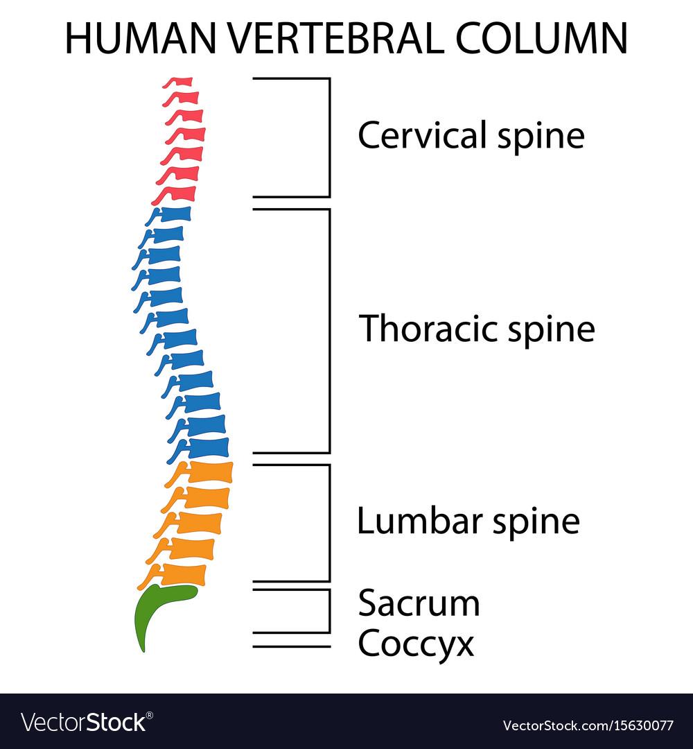 Cervical Vertebrae Wiring Diagram
