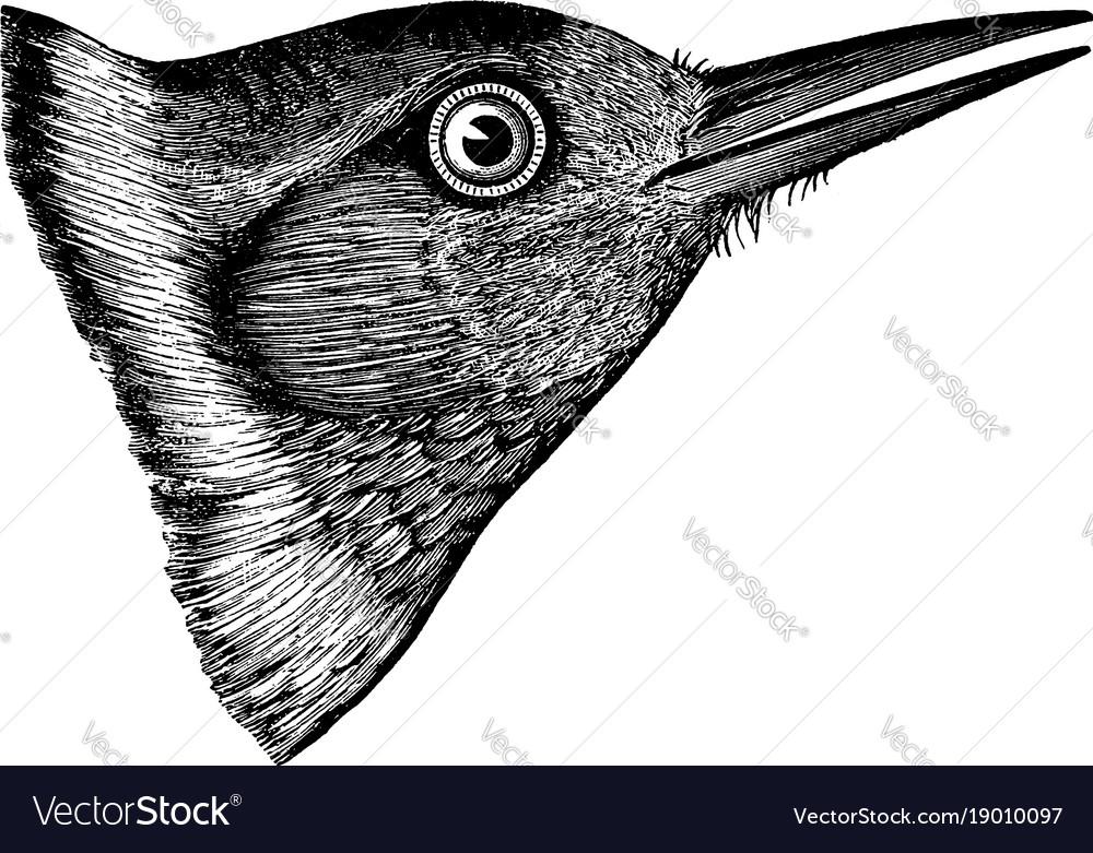 Lewis woodpecker head vintage vector image