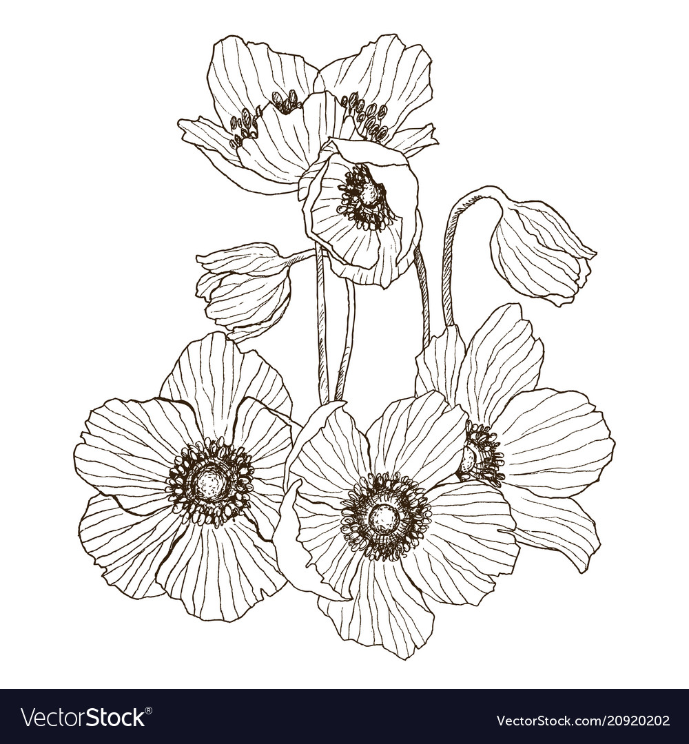 Anemone flower drawing bouquet isolated Royalty Free Vector