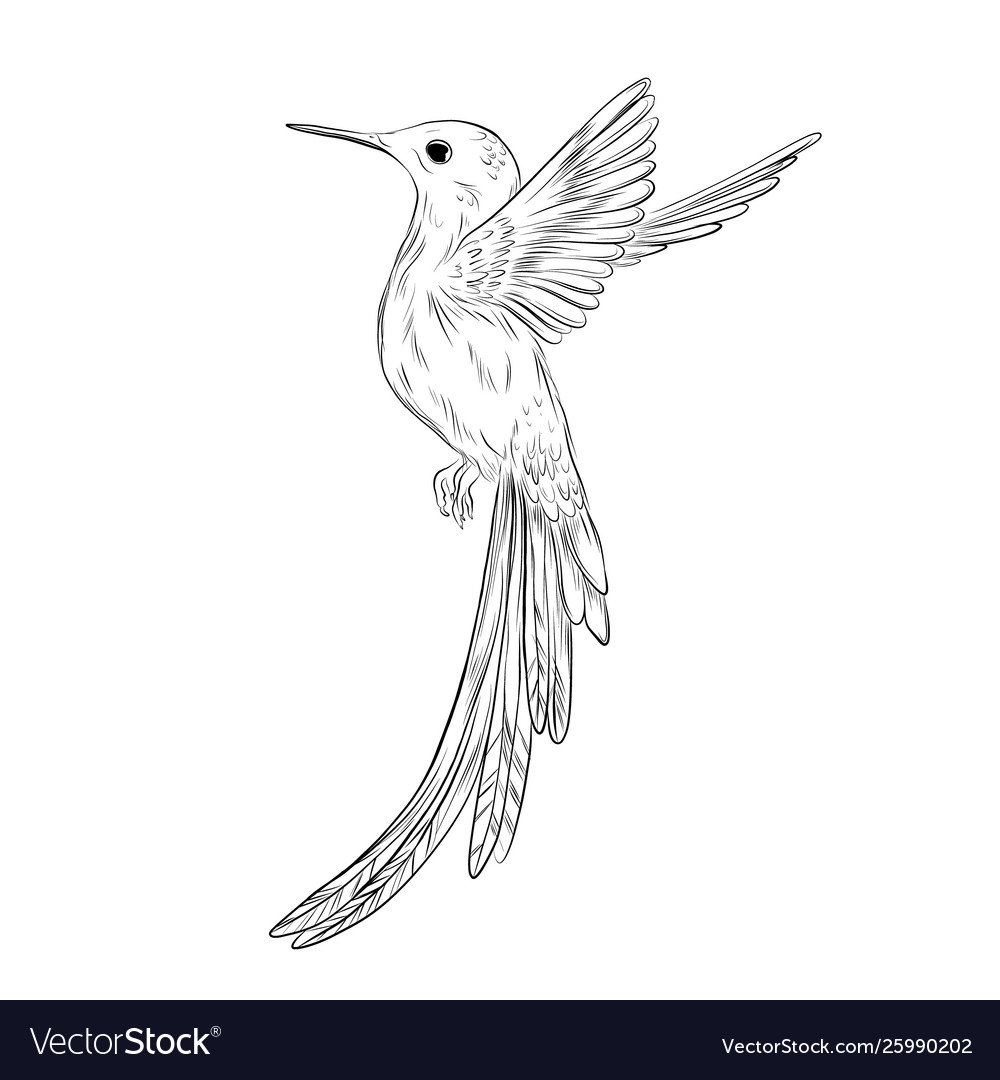 Hand-drawn colibri humming bird sketch on white vector