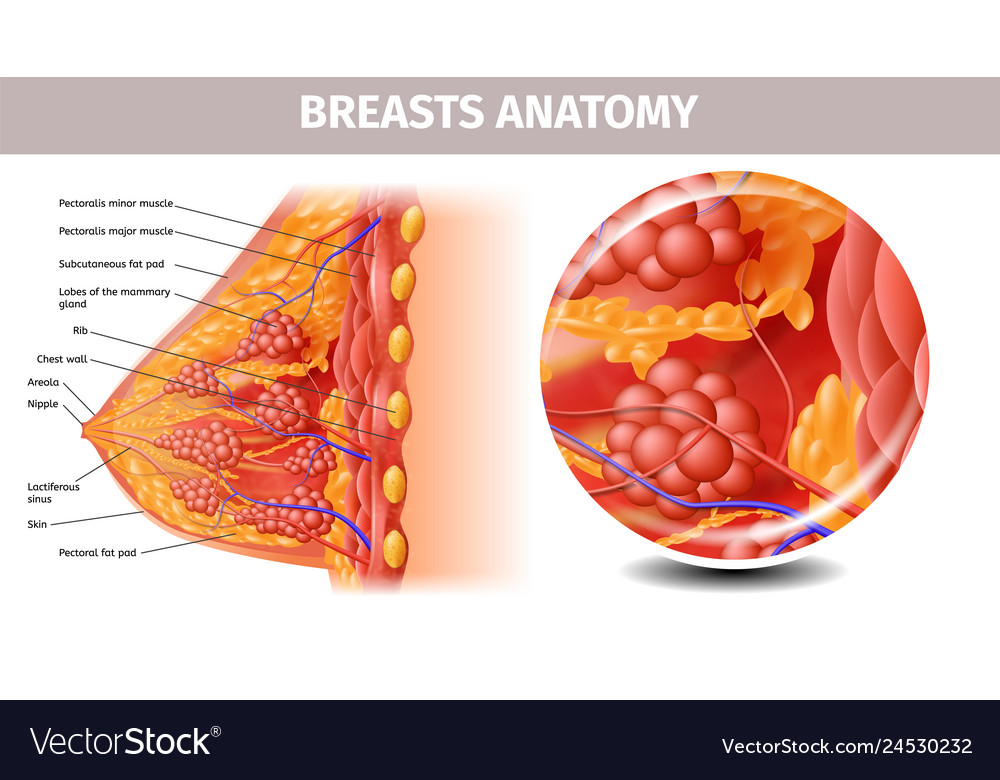 Highly Detailed View Of Healthy Female Breast Vector Image