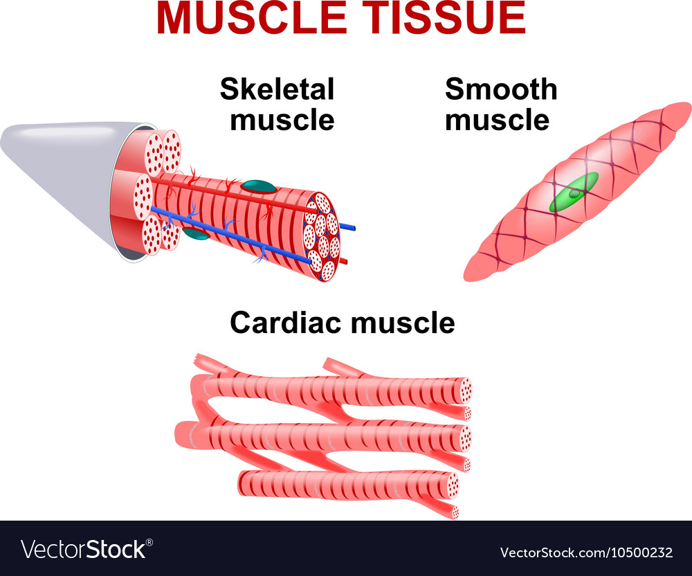 Muscle Tissue Royalty Free Vector Image Vectorstock