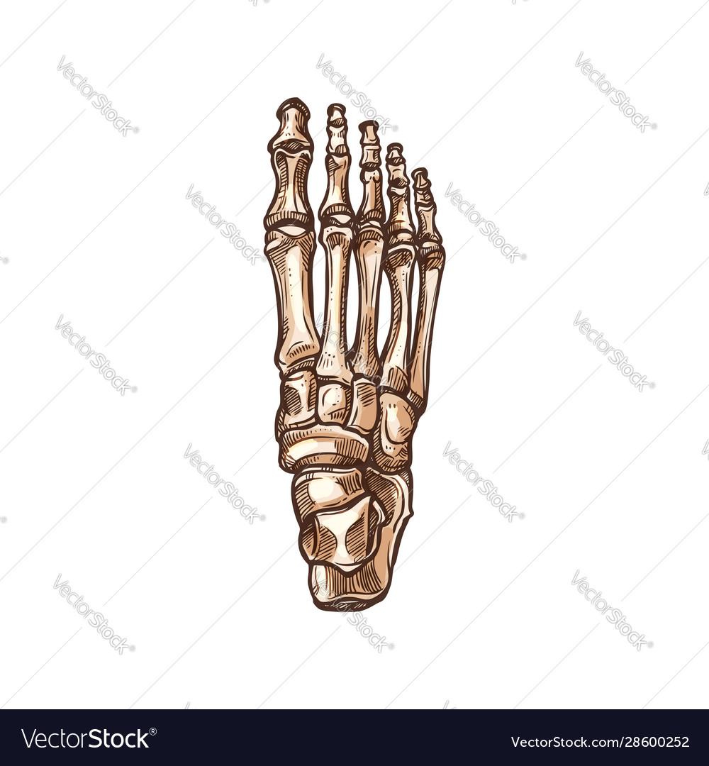 Skeleton Foot Tarsal And Metatarsal Bones Vector Image