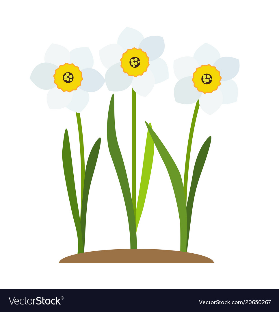 Spring narcissus flowers background