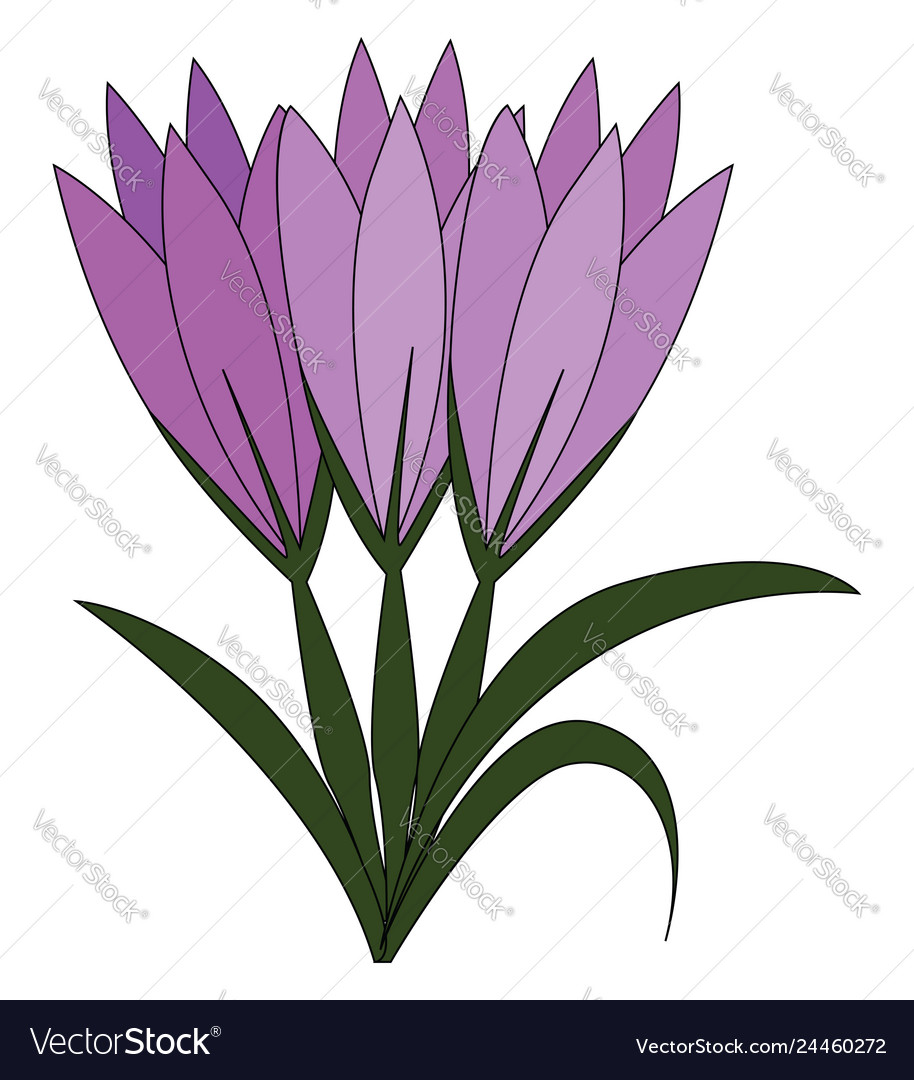 Violet crocus flowers with green leaves on white