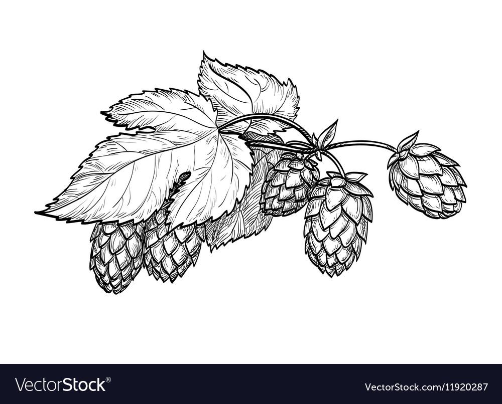 Hops vector image