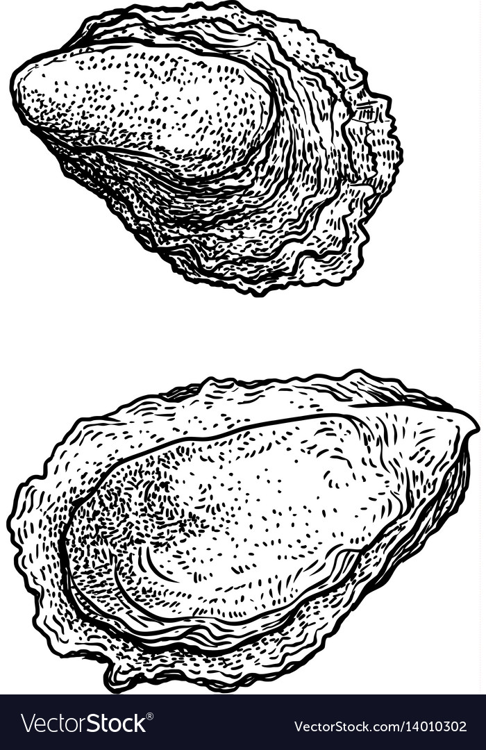 Oyster drawing engraving ink line