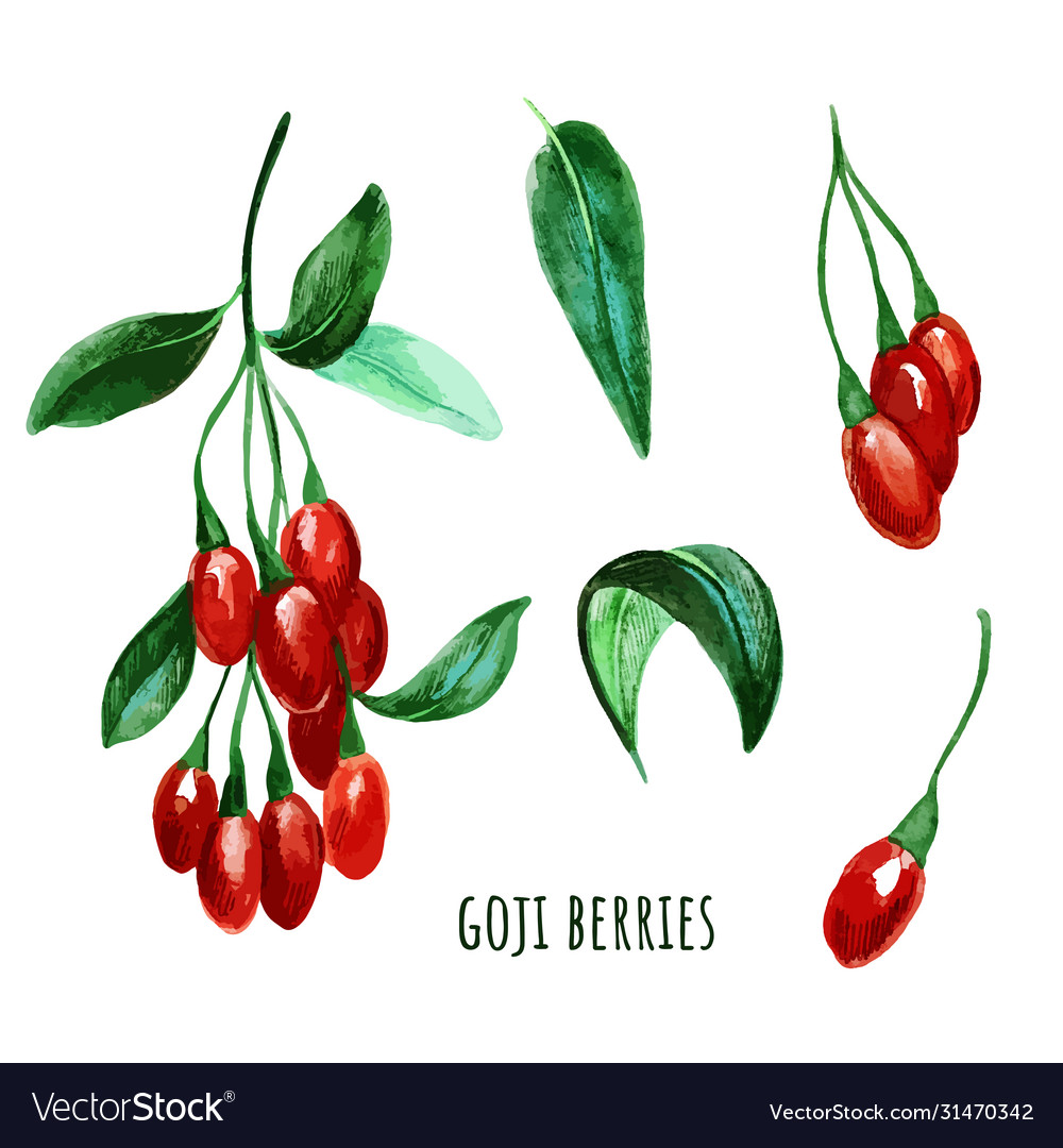 Goji Berries With Leaves Hand Drawn Watercolor Vector Image