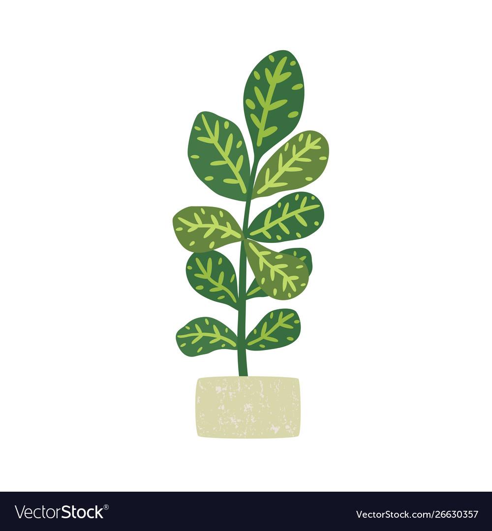 Codiaeum variegatum houseplant with potted