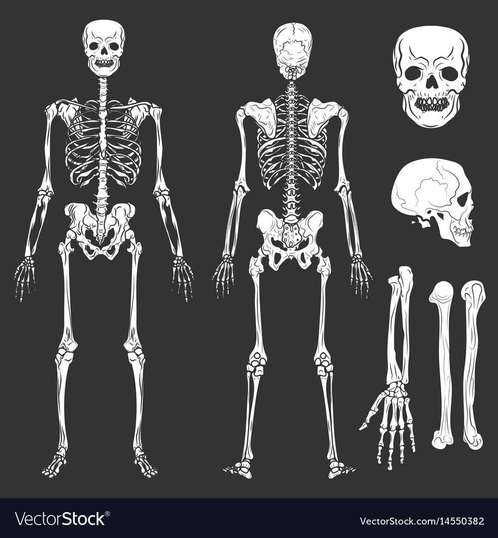 Human body skeleton bones and joints royalty free vector human body skeleton bones and joints vector image ccuart Image collections