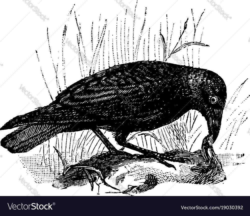 Carrion Crow Vintage Royalty Free Vector Image