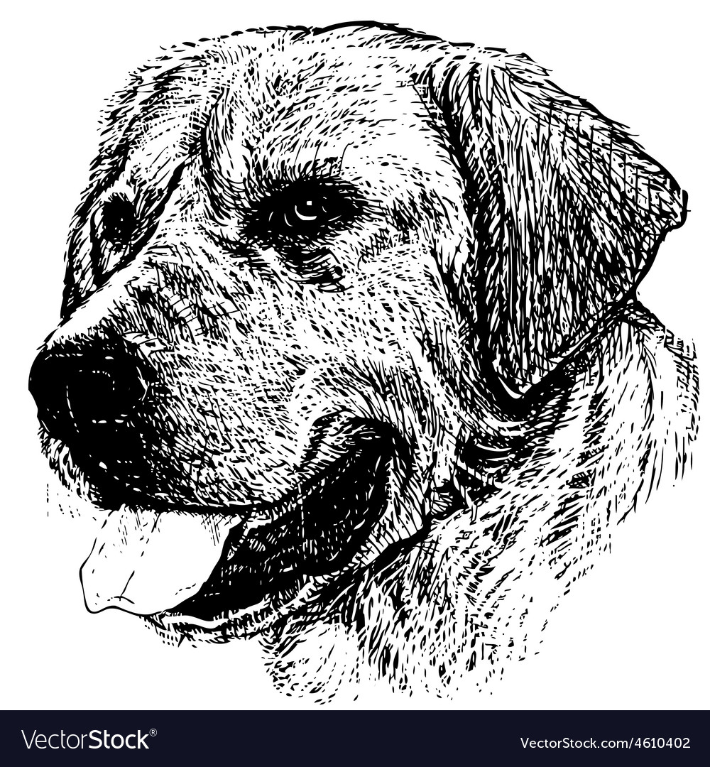 Labrador Retriever 03 1 vector image