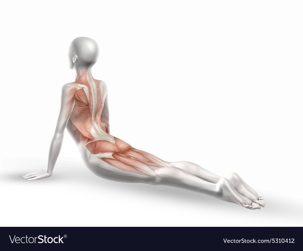 Female medical figure with muscle map 1405 vector image