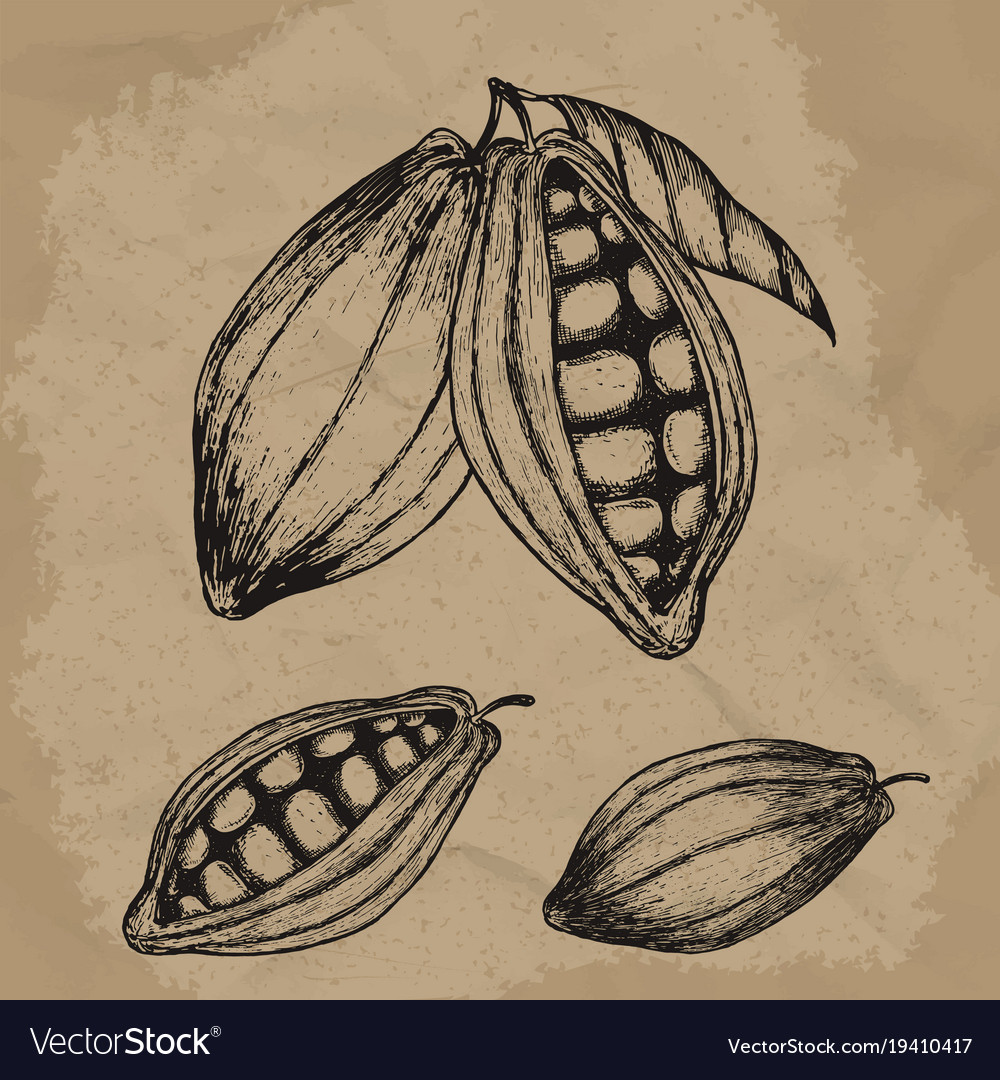 Cocoa beans hand drawn chocolate