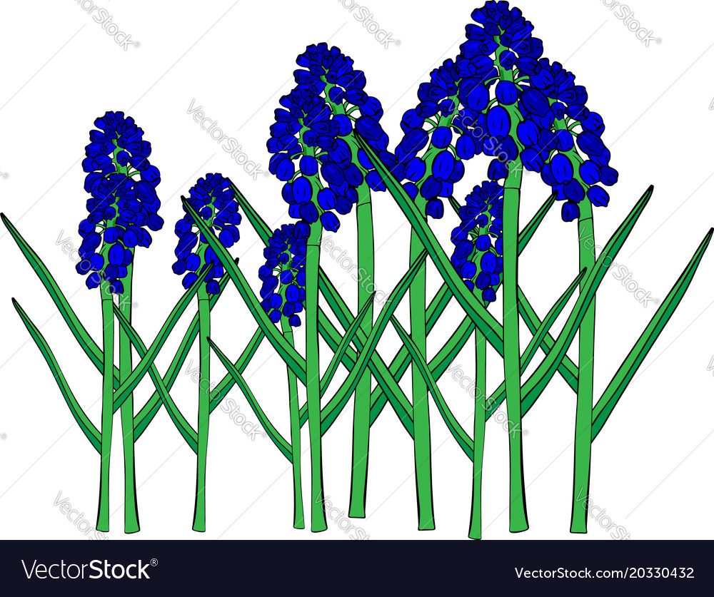 Blue Spring Flowers A Muscari Flower Or A Mouse Vector Image