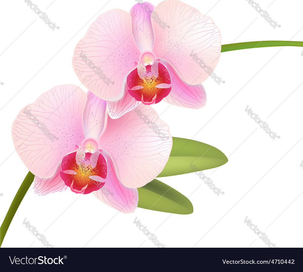 Pink Phalaenopsis Orchid vector image
