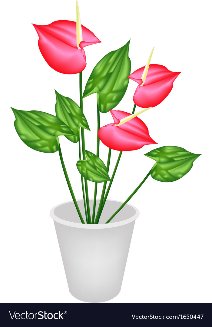 279 & Anthurium Flowers or Flamingo Lily in A Flower Pot