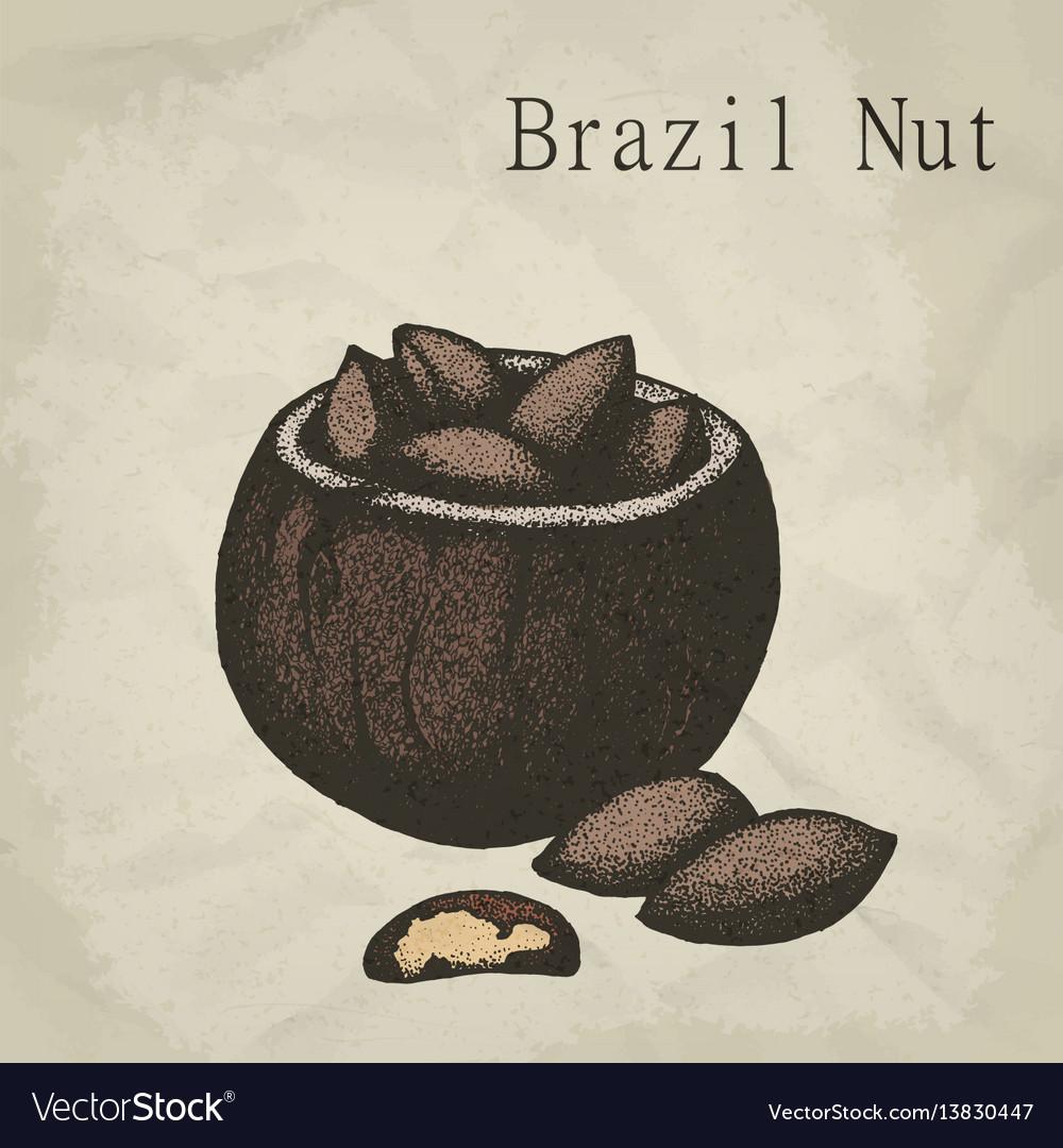 Brazil nut fruit vintage engraved
