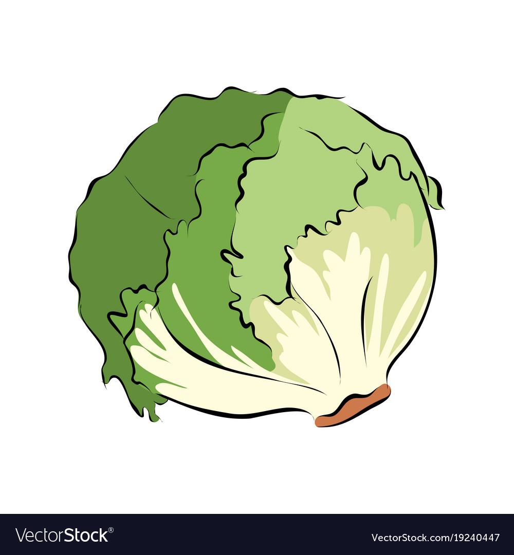 hand drawn green lettuce royalty free vector image  vectorstock