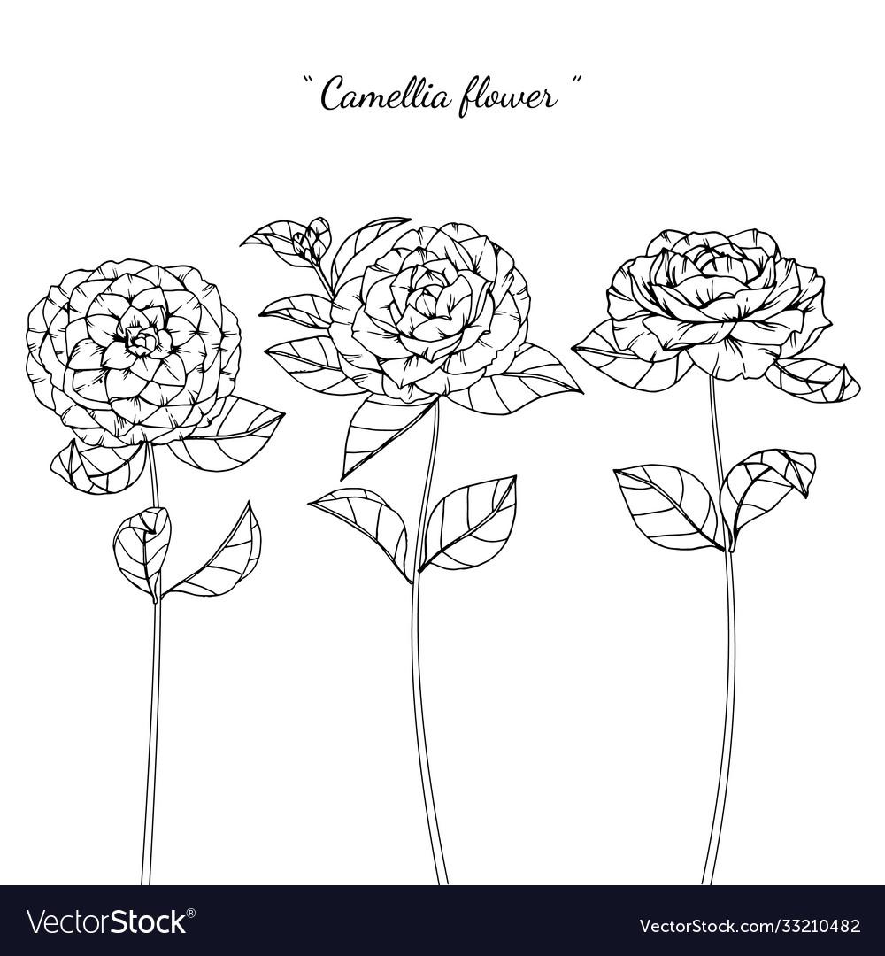 Camellia flower and leaf hand drawn botanical