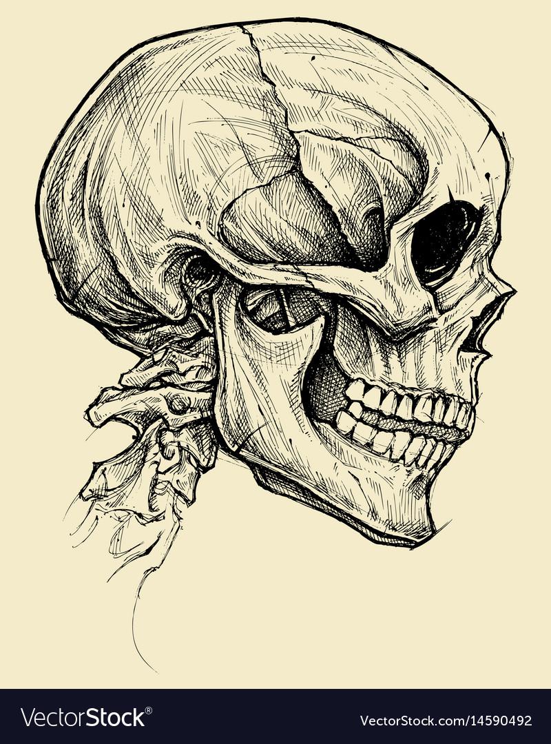 Skull drawing line work vector image