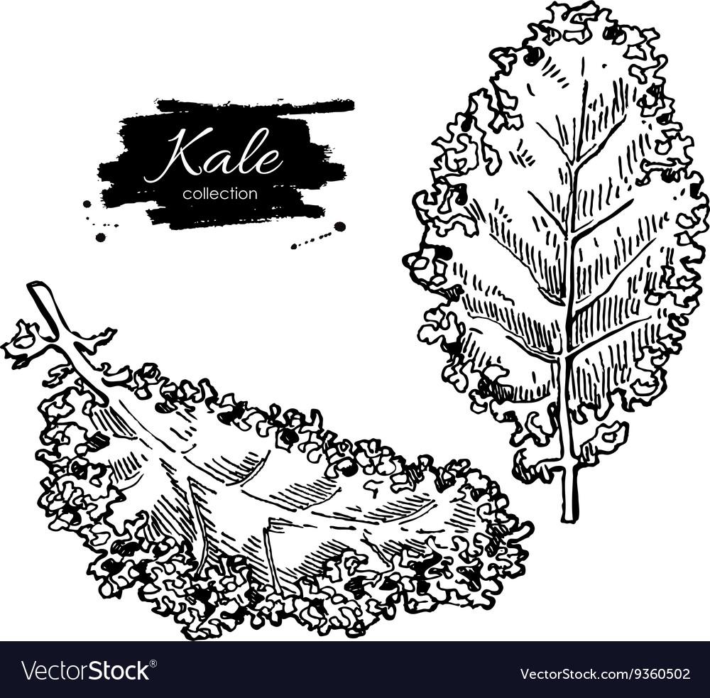 Kale hand drawn set Vegetable engraved