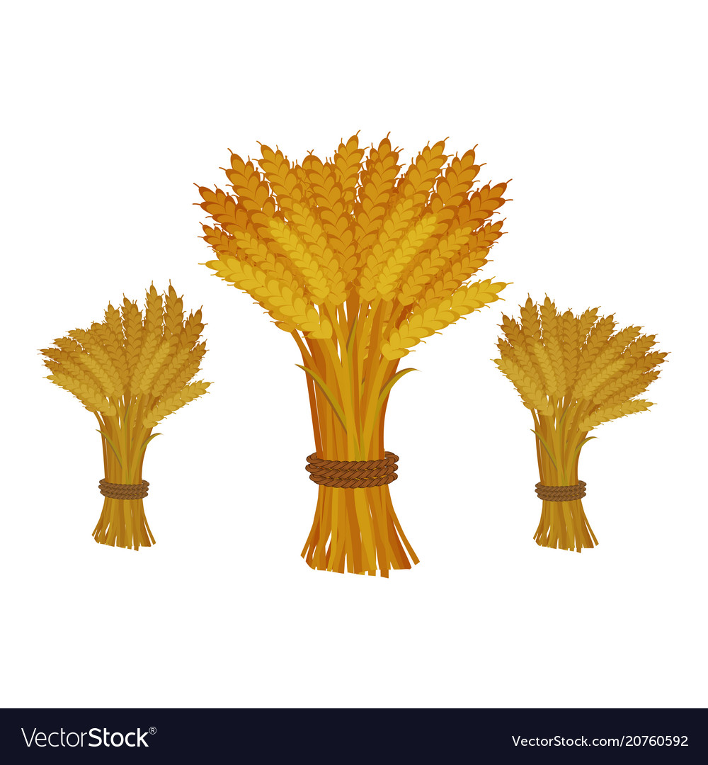 Sheaves of wheat on white background vector image