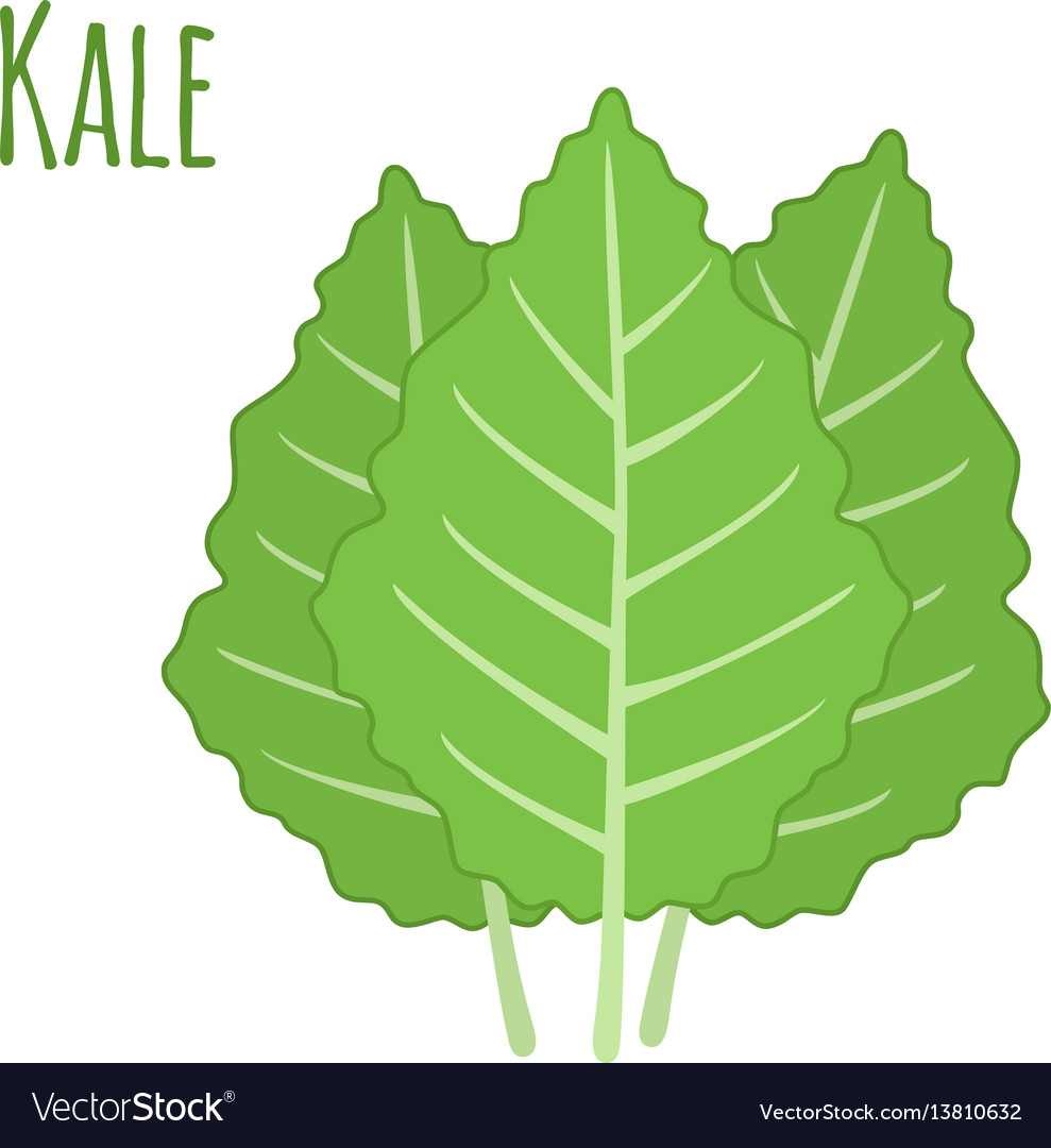 Kale vegetable in cartoon flat style organic vector image