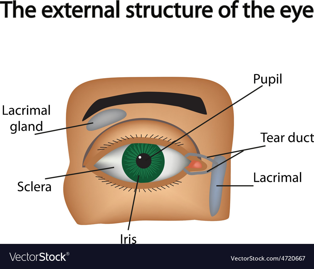The external structure of the eye Royalty Free Vector Image