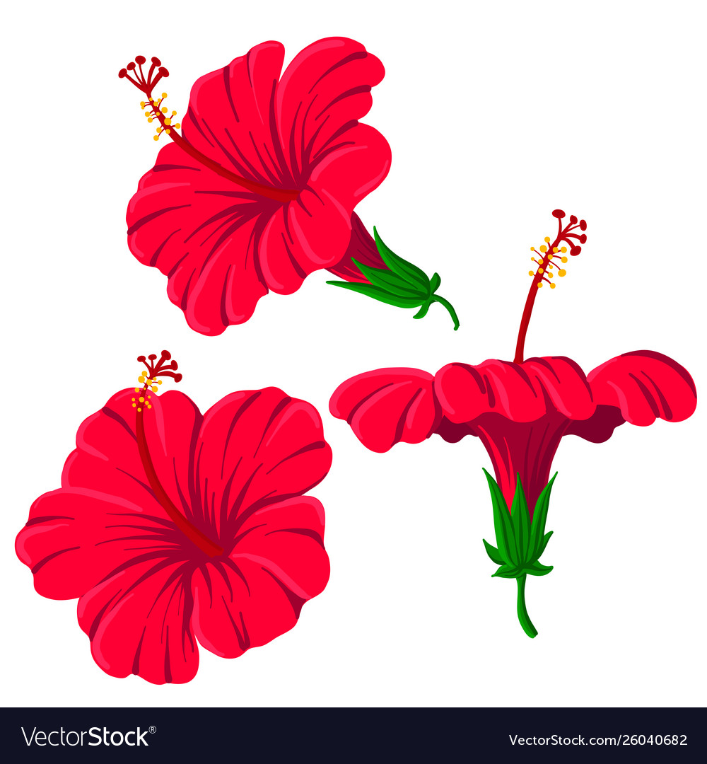 Drawing hibiscus flowers