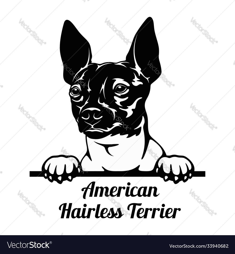 Peeking dog - american hairless terrier breed