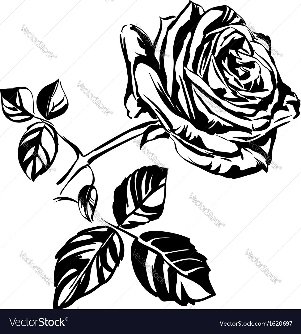 hand drawn roses royalty free vector image vectorstock rh vectorstock com rose vector png roses vector image