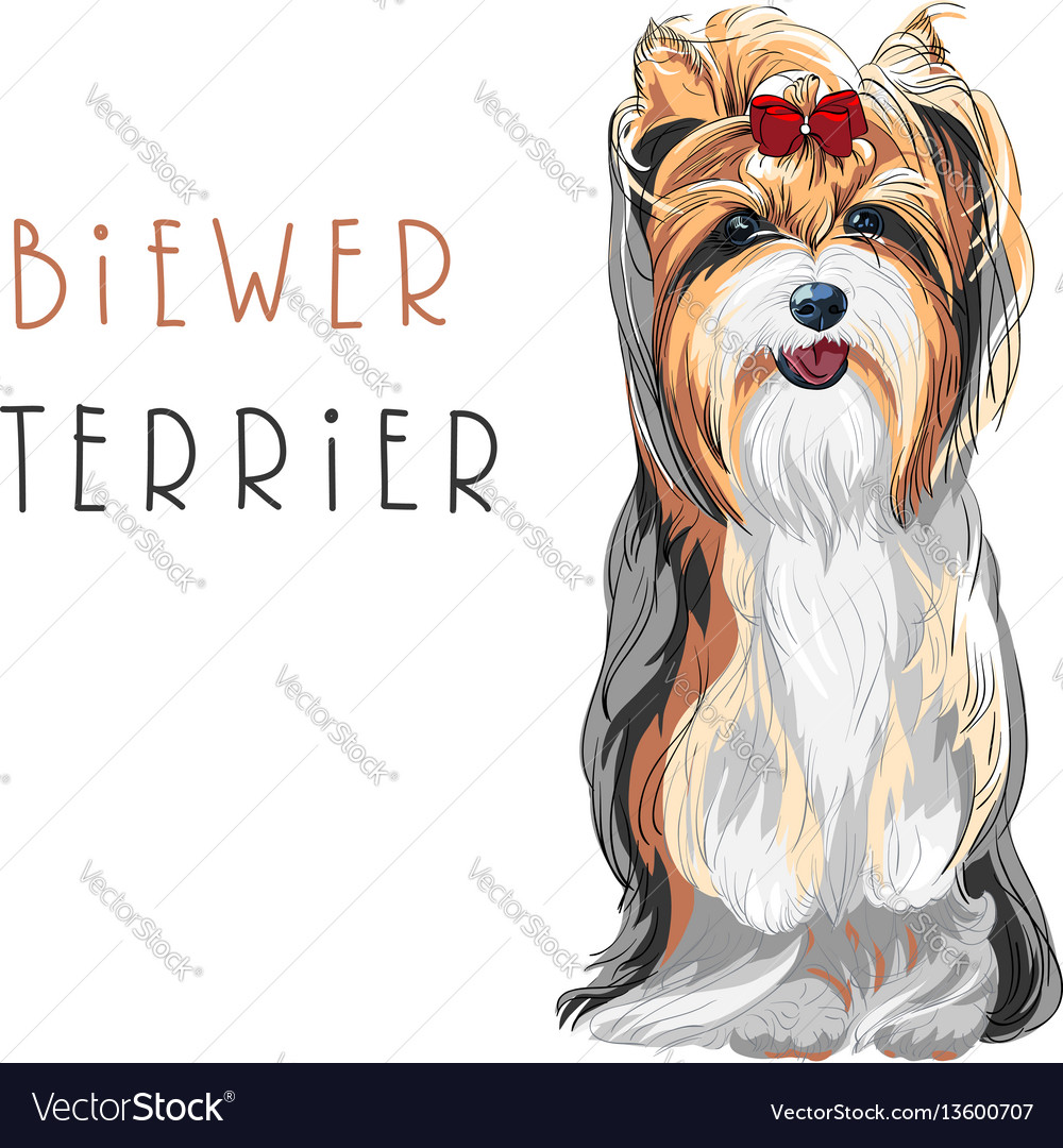 Funny Biewer Yorkshire Terrier Dog Sitting Vector Image