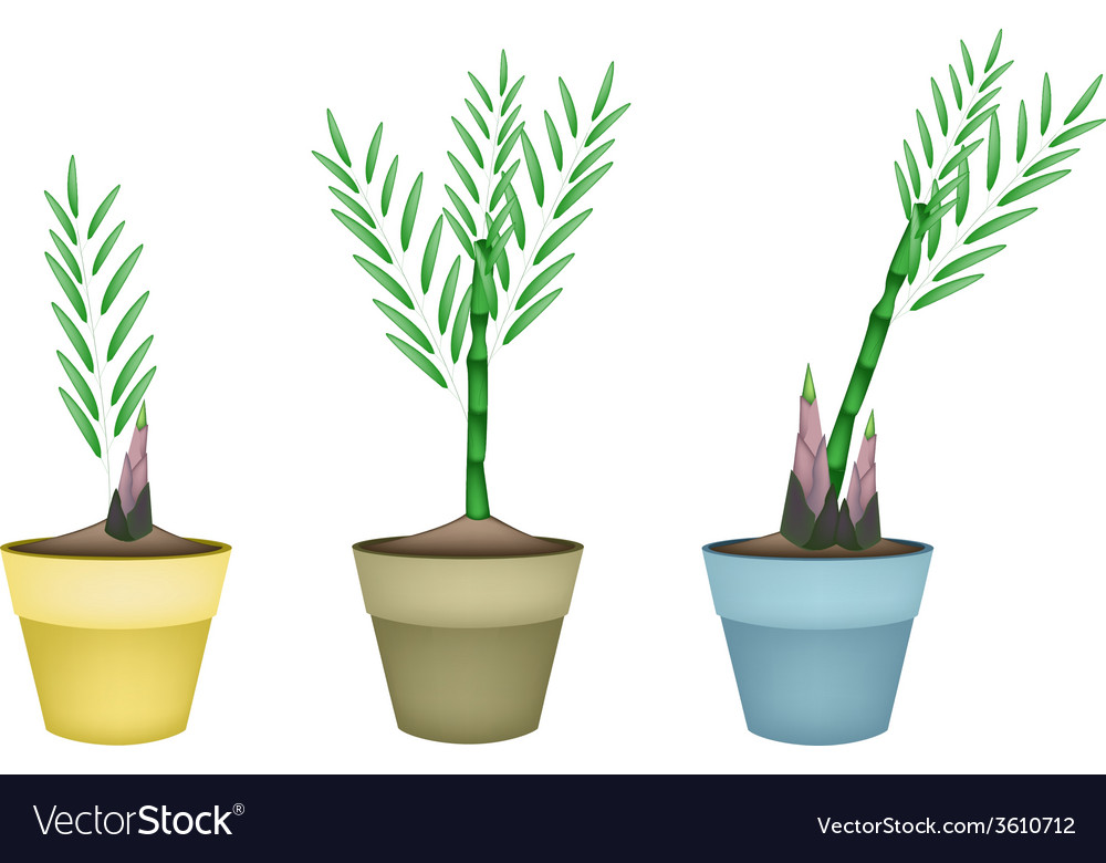Bamboo Plants In Ceramic Flower Pots