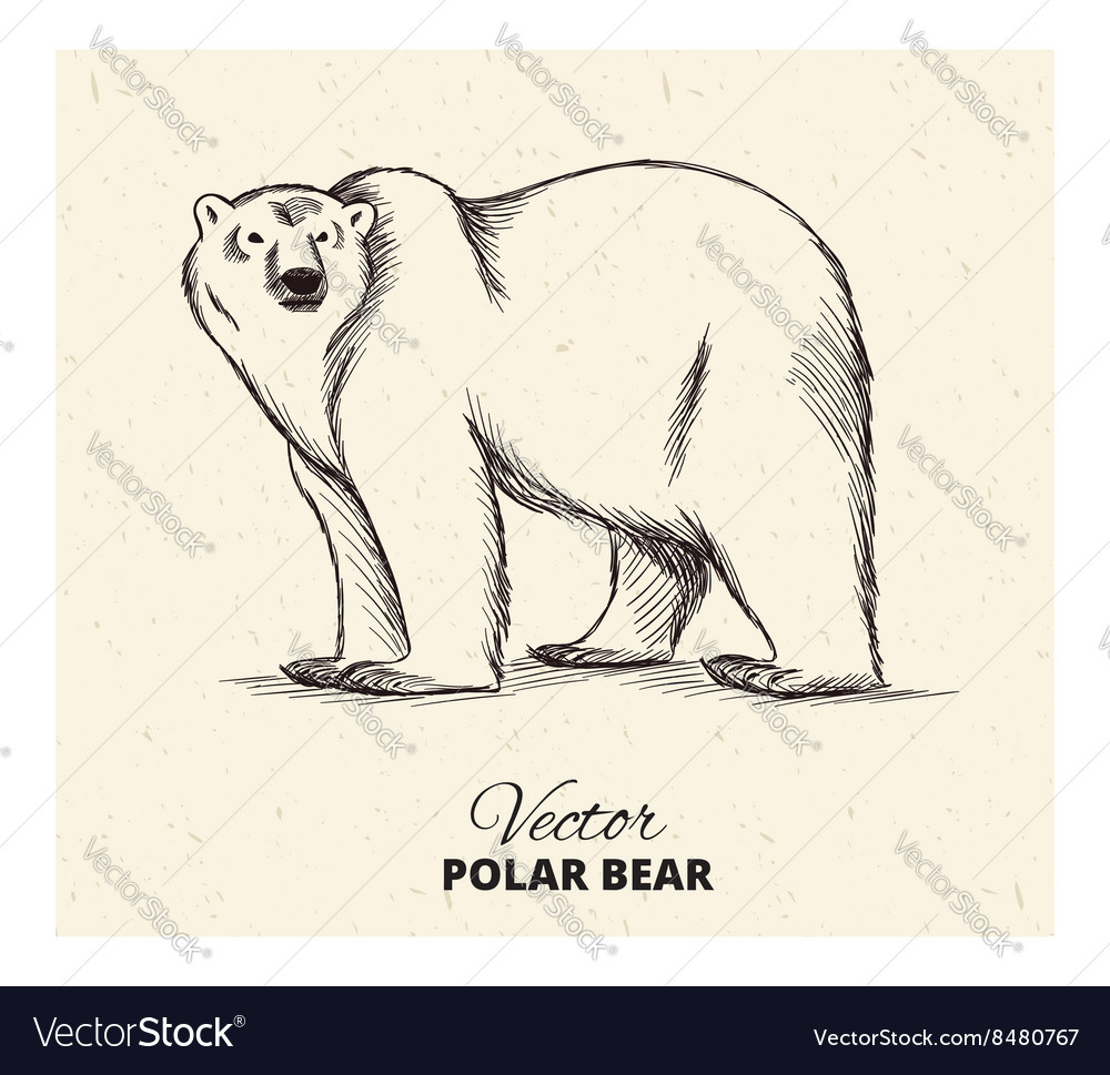 Polar Bear Hand Drawn