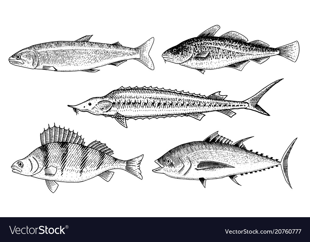 River and lake fish perch or bass scomber or