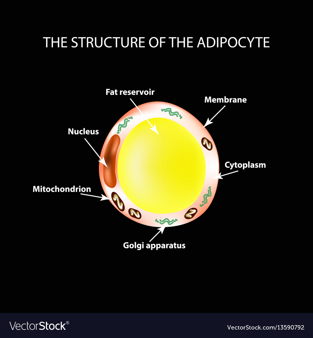The anatomical structure of the fat cells