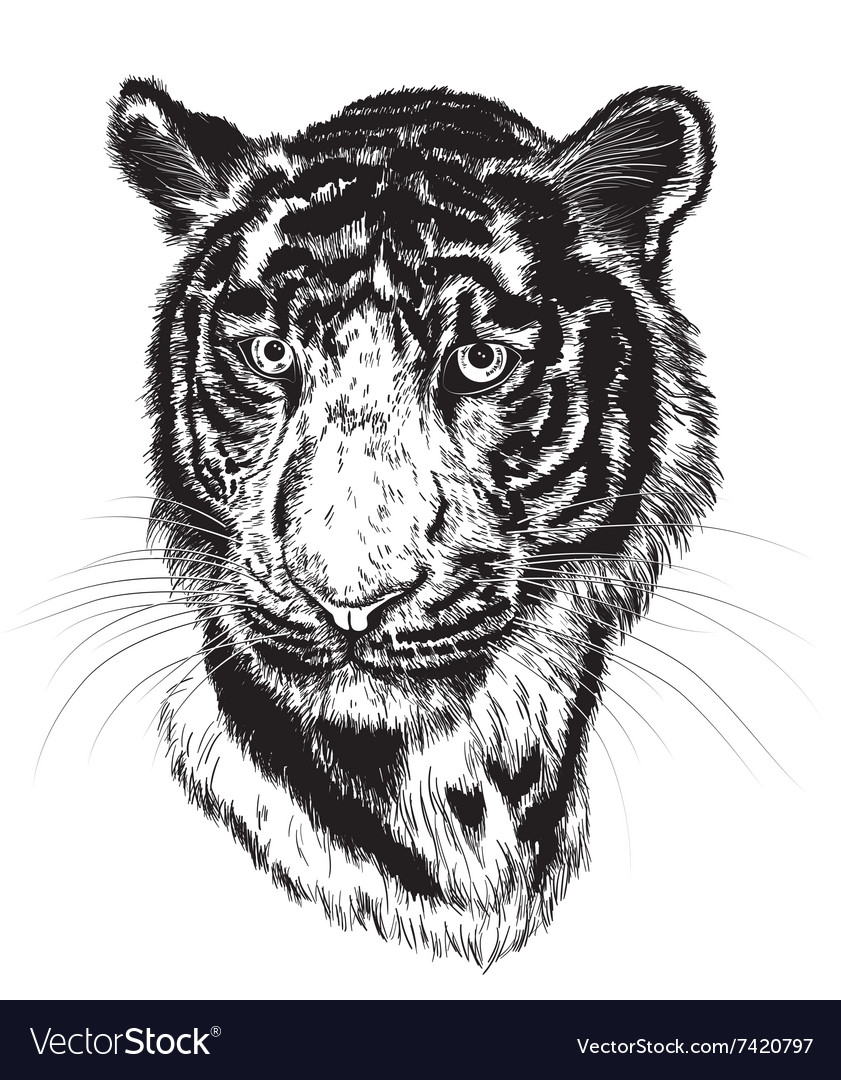 sketch of a tigers face royalty free vector image