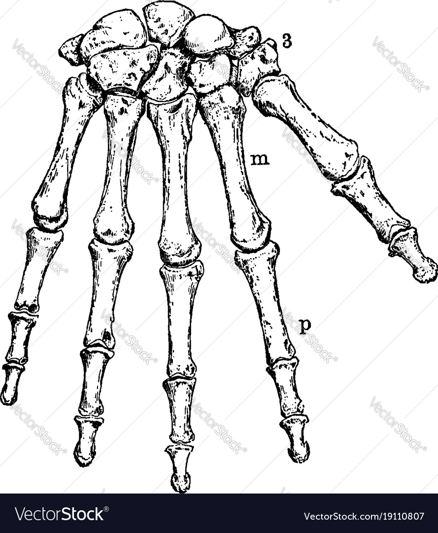 The Human Wrist And Hand Bones Vintage Royalty Free Vector