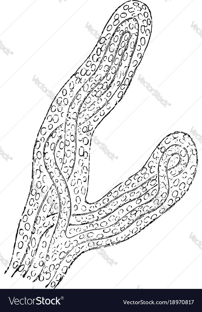 Magnified view of chorion villi vintage Royalty Free Vector