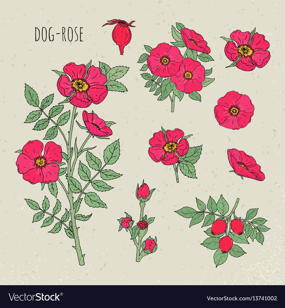 Dog rose medical botanical isolated