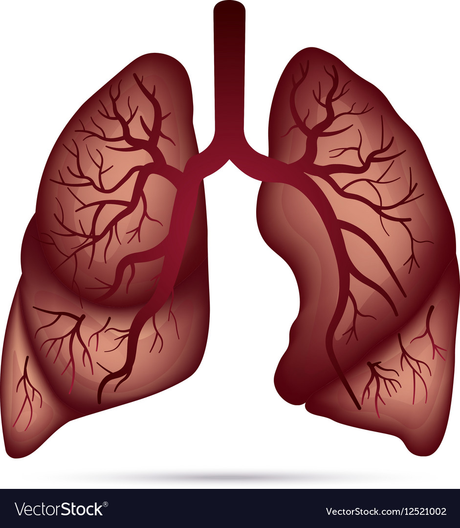 Human Lungs Anatomy For Asthma Tuberculosis Vector Image