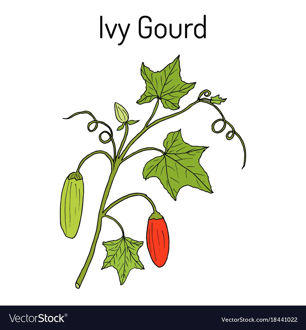 Ivy gourd coccinia grandis or kowai medicinal