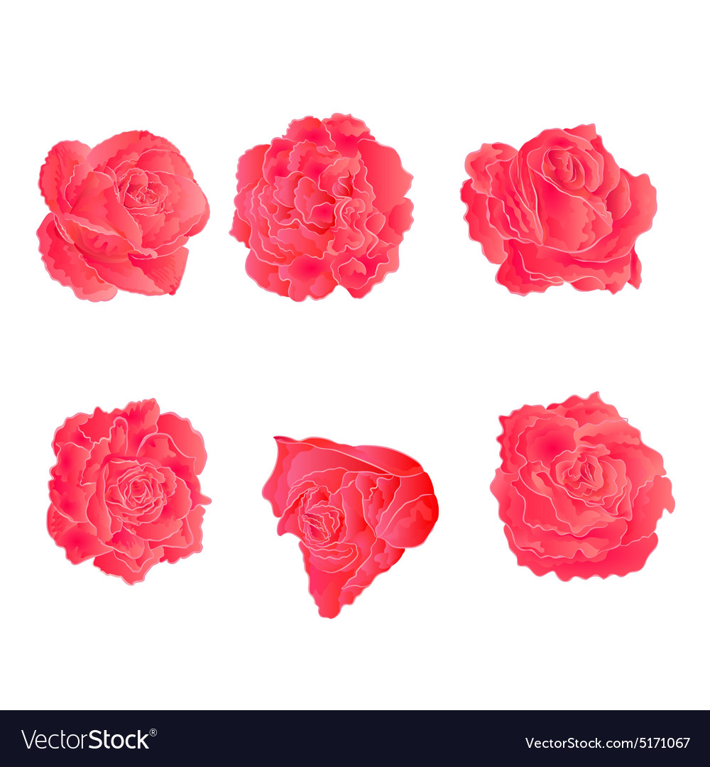 Blossom Pink Roses Symbol Of Love Royalty Free Vector Image